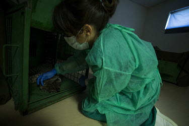 A lynx cub is checked to make sure it is recovering from the anaesthetic researcher,research,vet,vets,vet nary,conservation,lynx,Iberian lynx,humans,people,medical,care,health check,project,captive breeding,anaesthetic,doctors,doctor,Lynx pardinus,Mammalia,Mammals,Chordate