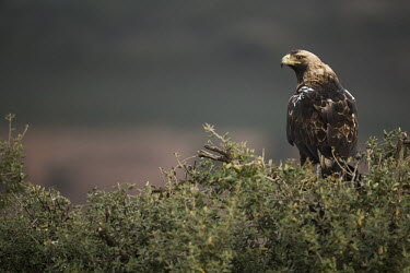 Spanish imperial eagle bird of prey,birds of prey,predator,talons,carnivore,hunter,raptor,imperial eagle,eagle,eagles,shallow focus,Spanish imperial eagle,Aquila adalbert,Aquila adalberti,Aves,Birds,Accipitridae,Hawks, Eagl