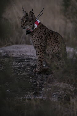 Iberian lynx resting after being released back into the wild wearing a radio-collar lynx,Iberian lynx,collared,release,project,catch and release,monitor,monitoring,conservation,cat,cats,feline,felidae,predator,carnivore,big cat,big cats,wild cat,Lynx pardinus,Mammalia,Mammals,Chordat