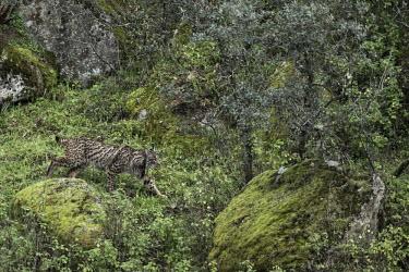 Lynx prowling through the Sierra de Andujar in winter cat,cats,feline,felidae,predator,carnivore,lynx,forest,woodland,big cat,big cats,wild cat,camouflage,camouflaged,Iberian lynx,Lynx pardinus,Mammalia,Mammals,Chordates,Chordata,Carnivores,Carnivora,Fel