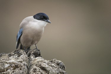 Azure winged magpie, only found in southern Spain Azure-winged magpie,Animalia,Chordata,Aves,Passeriformes,Corvidae,Cyanopica cyanus,magpie,magpies,bird,birds,black cap,shallow focus,negative space,close up,Asian Azure-winged Magpie