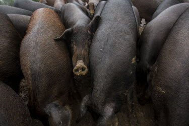 Black pig farming has little impact on the lynx territory Animalia,Chordata,Mammalia,Cetartiodactyla,Suidae,Sus scrofa domesticus,Sus domesticus,domestic pig,pig,farm animal,livestock,farming,pigs,Iberian pig,mud,muddy,dirt,face,snout,nose,Domestic pig