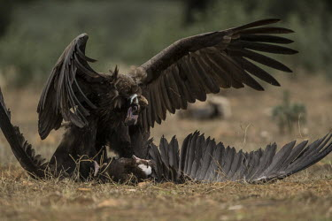 Cinereous vultures fighting over food vulture,vultures,scavenger,scavengers,carnivore,bird,birds,bald,talons,claws,fight,fighting,action,motion,in-flight,flight,flying,attack,argument,angry,defence,bully,conflict,aerial,rivalry,Cinereous