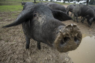 Iberian pig farming is Spain's largest land use Animalia,Chordata,Mammalia,Cetartiodactyla,Suidae,Sus scrofa domesticus,Sus domesticus,domestic pig,pig,farm animal,livestock,farming,pigs,Iberian pig,mud,muddy,dirt,face,snout,nose,Domestic pig