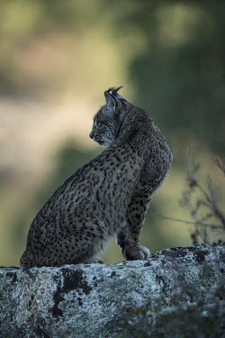 Iberian lynx resting on a rock in the early morning shade cat,cats,feline,felidae,predator,carnivore,lynx,forest,woodland,big cat,big cats,wild cat,shallow focus,Iberian lynx,Lynx pardinus,Mammalia,Mammals,Chordates,Chordata,Carnivores,Carnivora,Felidae,Cats