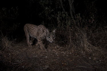 A young female Iberian lynx is caught on a camera trap cat,cats,feline,felidae,predator,carnivore,lynx,forest,woodland,big cat,big cats,wild cat,low light,night,night time,dark,darkness,prowl,prowling,Iberian lynx,Lynx pardinus,Mammalia,Mammals,Chordates,