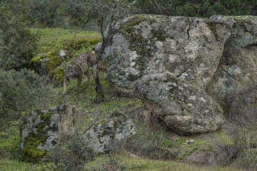Lynx prowling through the Sierra de Andujar in winter cat,cats,feline,felidae,predator,carnivore,lynx,forest,woodland,big cat,big cats,wild cat,Iberian lynx,Lynx pardinus,Mammalia,Mammals,Chordates,Chordata,Carnivores,Carnivora,Felidae,Cats,Lynx d'Espagn