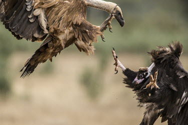A griffon and a cinereous vulture fight over a carcass vulture,vultures,scavenger,scavengers,carnivore,bird,birds,bald,talons,claws,fight,fighting,action,motion,in-flight,flight,flying,attack,argument,angry,defence,bully,conflict,aerial,rivalry,griffon vu