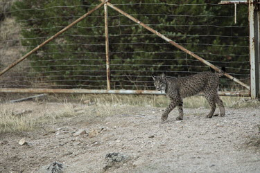 Iberian lynx in a soft release enclosure cat,cats,feline,felidae,predator,carnivore,lynx,big cat,big cats,wild cat,Iberian lynx,Lynx pardinus,Mammalia,Mammals,Chordates,Chordata,Carnivores,Carnivora,Felidae,Cats,Lynx d'Espagne,Lynx pardelle,