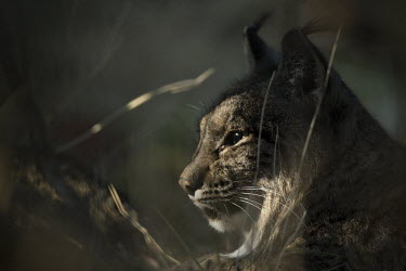 Iberian lynx resting in early morning shade cat,cats,feline,felidae,predator,carnivore,lynx,forest,woodland,big cat,big cats,wild cat,close up,face,portrait,low light,thoughtful,pensive,shallow focus,Iberian lynx,Lynx pardinus,Mammalia,Mammals,
