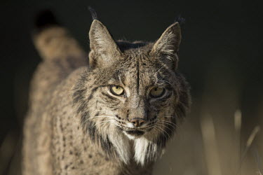 Portrait of an Iberian lynx cat,cats,feline,felidae,predator,carnivore,lynx,forest,woodland,big cat,big cats,wild cat,close up,face,portrait,low light,shallow focus,Iberian lynx,Lynx pardinus,Mammalia,Mammals,Chordates,Chordata,