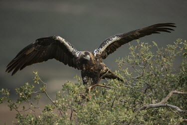 Spanish imperial eagle eating its kill from up high bird of prey,birds of prey,predator,talons,carnivore,hunter,raptor,imperial eagle,eagle,eagles,shallow focus,prey,kill,food,feeding,eating,dinner,meat,wings,wingspan,Spanish imperial eagle,Aquila adal