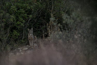 Iberian lynx sat on a rock cat,cats,feline,felidae,predator,carnivore,lynx,forest,woodland,big cat,big cats,wild cat,low light,shallow focus,Iberian lynx,Lynx pardinus,Mammalia,Mammals,Chordates,Chordata,Carnivores,Carnivora,Fe