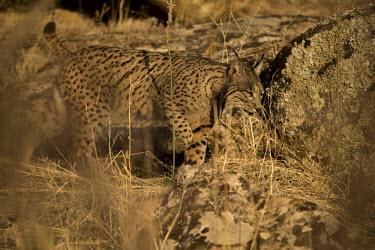 Iberian lynx in morning light prowl,prowling,cat,cats,feline,felidae,predator,carnivore,lynx,big cat,big cats,wild cat,Iberian lynx,Lynx pardinus,Mammalia,Mammals,Chordates,Chordata,Carnivores,Carnivora,Felidae,Cats,Lynx d'Espagne