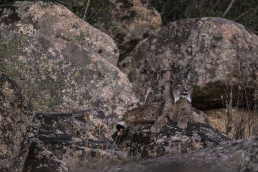 Iberian lynx resting on a rock cat,cats,feline,felidae,predator,carnivore,lynx,forest,woodland,big cat,big cats,wild cat,low light,shallow focus,resting,rock,relax,relaxing,rest,Iberian lynx,Lynx pardinus,Mammalia,Mammals,Chordates