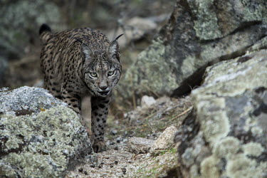 Lynx prowling through the Sierra de Andujar cat,cats,feline,felidae,predator,carnivore,lynx,forest,woodland,big cat,big cats,wild cat,low light,shallow focus,prowl,prowling,Iberian lynx,Lynx pardinus,Mammalia,Mammals,Chordates,Chordata,Carnivor