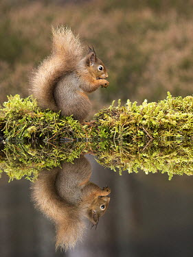 Red squirrel reflected in water squirrel,reflection,moss,foraging,tail,bushy tail,arboreal,autumn,mammal,mammals,vertebrate,vertebrates,terrestrial,fur,furry,cute,shallow focus,UK species,Red squirrel,Sciurus vulgaris,Chordates,Chor