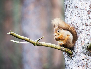 Red squirrel sat in a tree squirrel,arboreal,autumn,mammal,mammals,vertebrate,vertebrates,terrestrial,fur,furry,cute,shallow focus,UK species,Red squirrel,Sciurus vulgaris,Chordates,Chordata,Squirrels, Chipmunks, Marmots, Prair