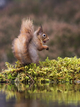 Red squirrel gathering nuts squirrel,moss,foraging,tail,bushy tail,arboreal,autumn,mammal,mammals,vertebrate,vertebrates,terrestrial,fur,furry,cute,shallow focus,UK species,Red squirrel,Sciurus vulgaris,Chordates,Chordata,Squirr