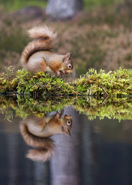 Red squirrel gathering nuts, reflected in water squirrel,reflection,moss,foraging,nuts,tail,bushy tail,arboreal,autumn,mammal,mammals,vertebrate,vertebrates,terrestrial,fur,furry,cute,shallow focus,UK species,Red squirrel,Sciurus vulgaris,Chordates