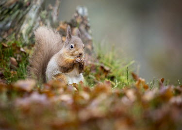 Red squirrel clutching a nut squirrel,arboreal,autumn,mammal,mammals,vertebrate,vertebrates,terrestrial,fur,furry,cute,shallow focus,close up,happy,smiling,smile,UK species,Red squirrel,Sciurus vulgaris,Chordates,Chordata,Squirre