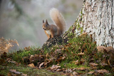Red squirrel gathering nuts around a tree squirrel,arboreal,autumn,foraging,tree,tail,bushy,mammal,mammals,vertebrate,vertebrates,terrestrial,fur,furry,cute,shallow focus,UK species,Red squirrel,Sciurus vulgaris,Chordates,Chordata,Squirrels,