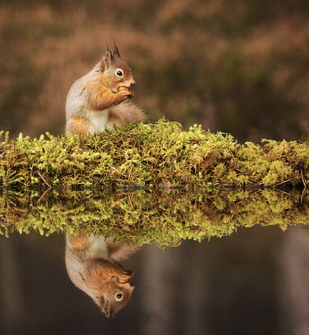 Red squirrel eating nuts, reflected in water squirrel,reflection,moss,foraging,nuts,tail,bushy tail,arboreal,autumn,mammal,mammals,vertebrate,vertebrates,terrestrial,fur,furry,cute,shallow focus,UK species,Red squirrel,Sciurus vulgaris,Chordates