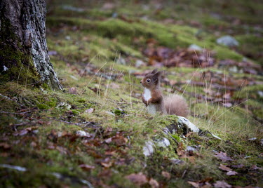Red squirrel foraging around a tree squirrel,arboreal,autumn,mammal,mammals,vertebrate,vertebrates,terrestrial,fur,furry,cute,shallow focus,UK species,Red squirrel,Sciurus vulgaris,Chordates,Chordata,Squirrels, Chipmunks, Marmots, Prair