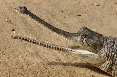 Gharial on a river bank with mouth open gavial,fish-eating crocodile,crocodilian,reptile,reptiles,scales,scaly,cold blooded,teeth,jaws,mouth,adaptation,portrait,shallow focus,beach,sand,predator,weird,Gharial,Gavialis gangeticus,Gharials an