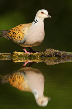 Turtle dove reflected in water dove,bird,birds,colourful,colorful,close up,green background,garden bird,reflection,water,Turtle dove,Streptopelia turtur,Pigeons and Doves,Columbiformes,Pigeons, Doves,Columbidae,Aves,Birds,Chordates