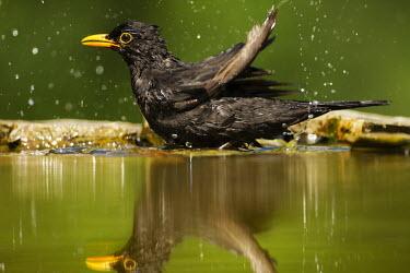 Common blackbird splashing in water bird,birds,blackbird,black bird,water,washing,wash,bath,reflection,close up,garden bird,splash,splashing,green background,Blackbird,Turdus merula,Turdidae,Thrushes,Perching Birds,Passeriformes,Chordat