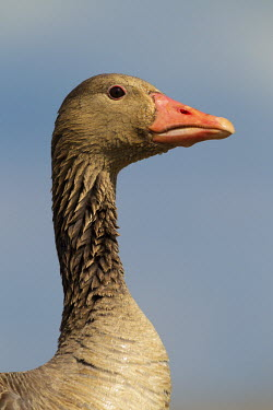 Greylag goose head waterfowl,geese,goose,close up,portrait,face,bill,feathers,wet,Greylag goose,Anser anser,Ducks, Geese, Swans,Anatidae,Waterfowl,Anseriformes,Chordates,Chordata,Aves,Birds,Agricultural,Salt marsh,Terre