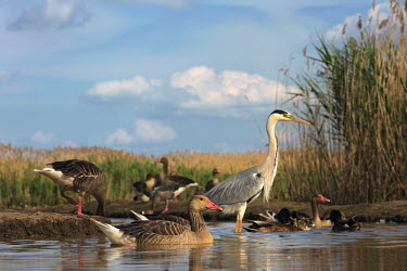 Greylag goose with grey herons in water waterfowl,geese,goose,ponds,lakes,pond,lake,reeds,reedbed,wetland,shallow focus,heron,grey heron,ducks,duck,Greylag goose,Anser anser,Ducks, Geese, Swans,Anatidae,Waterfowl,Anseriformes,Chordates,Chor