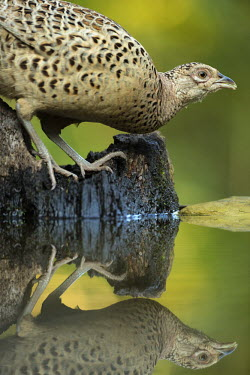 Female pheasant reflected on water game,game bird,bird,birds,wildfowl,ring-necked pheasant,female,close up,shallow focus,green background,drinking,drink,thirsty,water,reflection,Pheasant,Phasianus colchicus,Aves,Birds,Gallinaeous Birds