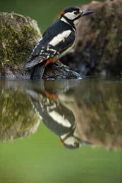 Great-spotted woodpecker reflected on water great spotted woodpecker,greater spotted woodpecker,greater-spotted woodpecker,woodpecker,colourful,colorful,reflection,water,bath,green background,shallow focus,close up,Great-spotted woodpecker,Dend