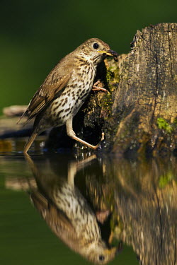 Song thrush with prey in bill thrush,bird,birds,close up,garden bird,green background,moss,tree stump,nest building,foraging,woodland,woods,forest,water,reflection,Song thrush,Turdus philomelos,Old World Flycatchers,Muscicapidae,T