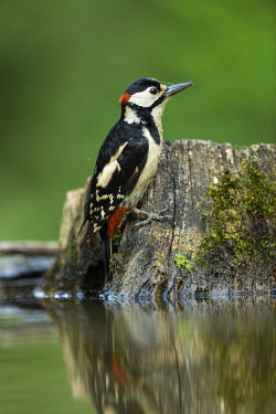 Great-spotted woodpecker at water's edge great spotted woodpecker,greater spotted woodpecker,greater-spotted woodpecker,woodpecker,colourful,colorful,tree stump,water,bath,green background,shallow focus,close up,Great-spotted woodpecker,Dend