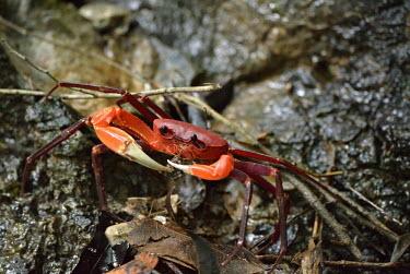 A freshwater crab in Vietnam freshwater crab,crab,crabs,crustacean,crustaceans,exoskeleton,claw,claws,Animalia,Arthropoda,Crustacea,terrestrial,feeding,red,leaf litter