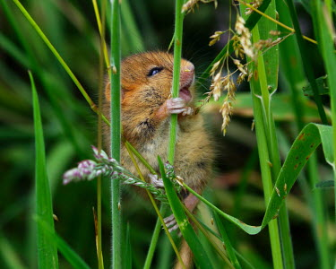 Dormouse looking excited for grass dormouse,dormice,mouse,mice,rodent,small,field,grass,cute,close up,happy,smile,smiling,excited,Hazel dormouse,Muscardinus avellanarius,Dormouse,Chordates,Chordata,Mammalia,Mammals,Rodents,Rodentia,Dor