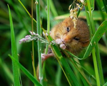 Dormouse eating grass seeds dormouse,dormice,mouse,mice,rodent,small,field,grass,cute,close up,eating,feeding,Hazel dormouse,Muscardinus avellanarius,Dormouse,Chordates,Chordata,Mammalia,Mammals,Rodents,Rodentia,Dormice,Myoxidae