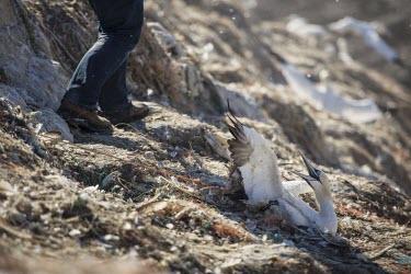 A Northern gannet struggles in discarded fishing line gannets,Northern gannet,bird,birds,coast,coastal,coastline,human impact,pollution,ghost fishing,entangled,discard,rubbish,plastic,plastics,waste,fishing line,fishing net,threat,environmental threats,e