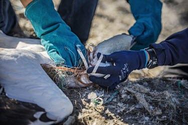 Volunteers untangling Northern gannets from discarded fishing line gannets,Northern gannet,bird,birds,coast,coastal,coastline,human impact,pollution,ghost fishing,entangled,discard,rubbish,plastic,plastics,waste,fishing line,fishing net,threat,environmental threats,e