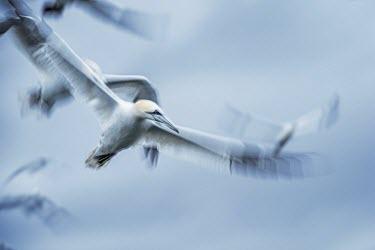 Northern gannet scanning the sea from above gannets,Northern gannet,bird,birds,coast,coastal,coastline,flying,flight,seabird,seabirds,atmospheric,action,motion,Gannet,Morus bassanus,Aves,Birds,Pelicans and Cormorants,Pelecaniformes,Chordates,Ch