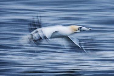 Northern gannet skimming over the sea gannets,Northern gannet,bird,birds,coast,coastal,coastline,flying,flight,seabird,seabirds,atmospheric,action,motion,sea,ocean,oceans,Gannet,Morus bassanus,Aves,Birds,Pelicans and Cormorants,Pelecanifo