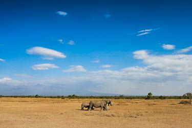 A family of white rhino grazing on the savanna rhinos,rhino,horn,horns,herbivores,herbivore,vertebrate,mammal,mammals,terrestrial,Africa,African,savanna,savannah,safari,white rhino,white rhinos,family,landscape,blue sky,White rhinoceros,Ceratother