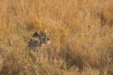 A leopard camouflaged in the grass cat,cats,feline,felidae,predator,carnivore,big cat,big cats,vertebrate,mammal,mammals,terrestrial,Africa,African,savanna,savannah,safari,leopard,leopards,ambush,hunting,camouflage,camouflaged,grass,fi