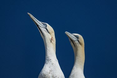 A Northern gannet with an injury on its neck gannets,Northern gannet,bird,birds,coast,coastal,coastline,close up,portrait,face,injury,injured,pair,blood,wound,Gannet,Morus bassanus,Aves,Birds,Pelicans and Cormorants,Pelecaniformes,Chordates,Chor