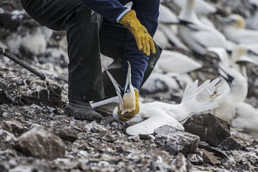 RSPB warden checking GPS tags on a Northern gannet gannets,Northern gannet,bird,birds,coast,coastal,coastline,human impact,pollution,ghost fishing,entangled,discard,rubbish,plastic,plastics,waste,fishing line,fishing net,threat,environmental threats,e