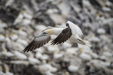 Northern gannet flying over its colony gannets,Northern gannet,bird,birds,flying,flight,seabird,seabirds,atmospheric,action,motion,sea,ocean,oceans,coast,coastal,coastline,Gannet,Morus bassanus,Aves,Birds,Pelicans and Cormorants,Pelecanifo