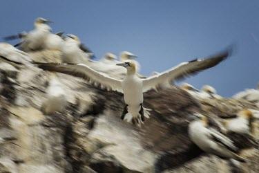 Northern gannet flying over its colony gannets,Northern gannet,bird,birds,flying,flight,seabird,seabirds,action,motion,sea,ocean,oceans,coast,coastal,coastline,wingspan,wings,Gannet,Morus bassanus,Aves,Birds,Pelicans and Cormorants,Pelecan